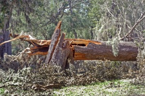 2017-09-18 DSC_0439 - tree trunk Hurricane Irma